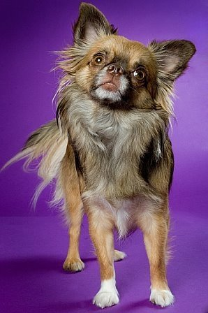 Beanie the Chihuahua