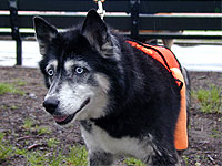 Husky mix Crystal, in foster care with Bobbi and the Strays, is a cancer survivor.