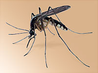 The heartworm parasite is transmitted to dogs and cats by mosquitoes.